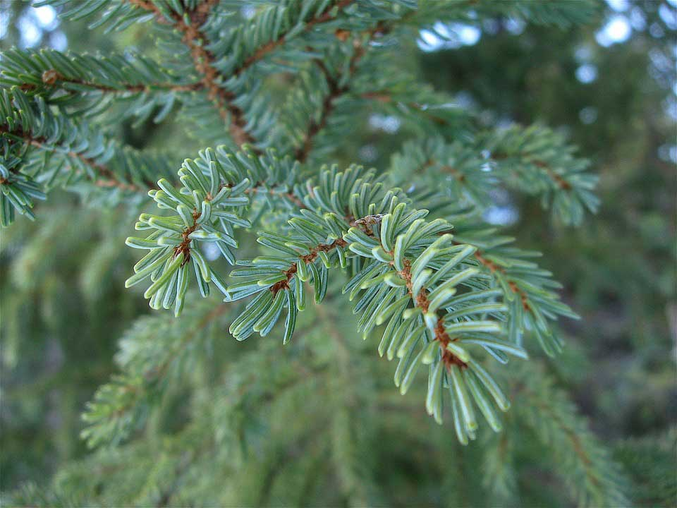 Close up of a fir branch showing its needles